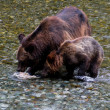 Grizzly bear — Stock Photo #33248619
