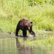 Grizzly bear — Stock Photo #33248745