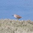 Greater Yellowlegs — Stock Photo
