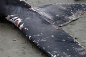 Humpback whale washes ashore and died — Zdjęcie stockowe