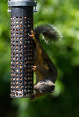 Squirrel and Bird Feeder — Stock Photo