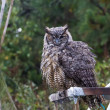 Great Horned Owl — Stock Photo #33250037