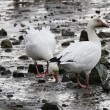 Snow Goose — Stock Photo #33250125