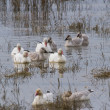 Snow Goose — Stock Photo #33250231
