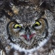 Great Horned Owl — Stock Photo #33250363