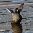 American Coot — Stock Photo #33250611