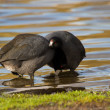 American Coot — Stock Photo #33250625