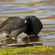 American Coot — Stock Photo