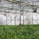 Greenhouse vegetable — Stock Photo
