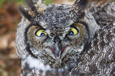 Great Horned Owl — Stok fotoğraf