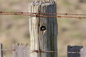 Chickadee capinero — Foto Stock