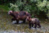 Boz ayı — Stok fotoğraf