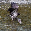 Bald eagle catching salmon — Stock Photo