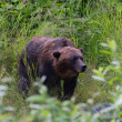 Grizzly bear — Stockfoto #33381625