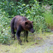 Grizzly bear — Stockfoto #33381675