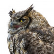 Great Horned Owl — Stockfoto