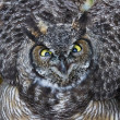 Great Horned Owl — Stock Photo #33383567