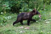 Boz ayı yavrusu — Stok fotoğraf
