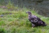 Bald eagle and salmon — Stock Photo