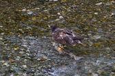 Bald eagle catching salmon — Stok fotoğraf