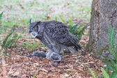 Great Horned Owl — Foto de Stock