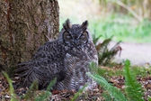 Great Horned Owl — Stock fotografie