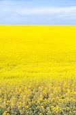 Yellow Canola Flower — Stock Photo