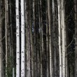 Stock Photo: Aspen Tree