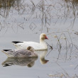 Snow Goose — Stock Photo #33526277