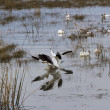Snow Goose — Stock Photo #33526937