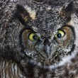 Great Horned Owl — Stock Photo #33527561