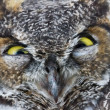 Great Horned Owl — Stock Photo #33527899