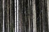 Aspen Tree — Stock Photo