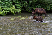 灰熊 — 图库照片