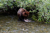 Grizzly bear cub — Stock Photo
