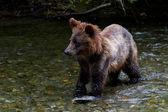 Grizzly bear cub — Stockfoto