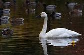 Tundra Swan — Stock Photo