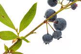 Blueberry tree — Stock Photo
