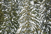 Snowcapped tree — Stock Photo