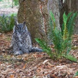 Great Horned Owl — Stock Photo #34758101