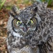 Great Horned Owl — Stock Photo #34760017