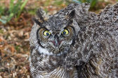 Great Horned Owl — Foto Stock