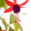 Fuschia flower — Stock Photo #34776503