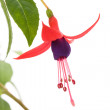 Fuschia flower — Stock Photo #34776657