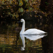 Tundra Swan — Stock Photo