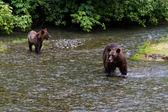 Grizzlybjörn — Stockfoto