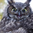 Great Horned Owl — Stock Photo #35002087