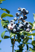 Blueberry tree — Stock Photo