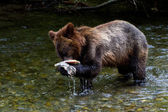 Grizzly bear cub — Stockfoto
