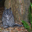 Great Horned Owl — Photo